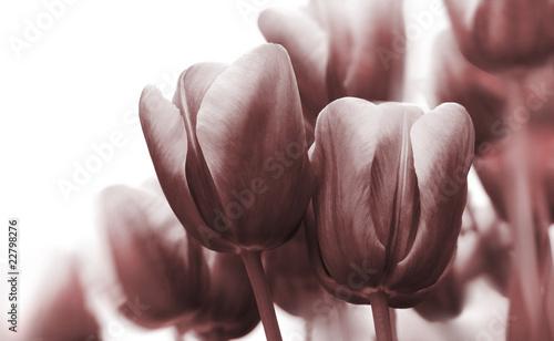 tulpen-highkey-monochrom - 22798276
