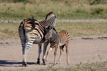 Zebra in Sabi Sand Reserve