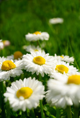 Beautiful Marguerite Daisies in Grass