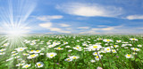 Wild daisies in the grass