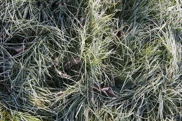 bereiftes Gras