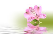 Beautiful pink flower reflecting in water