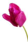 blume-lila tulpe