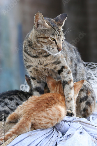 Protective cat guarding while kittens eating