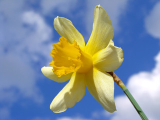 single daffodil against blue sky