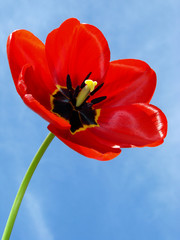 open red tulip against blue sky