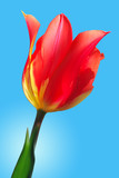 red with yellow tulip