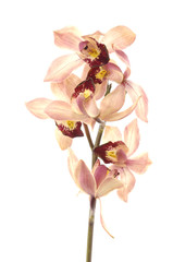 tiger's orchids on white