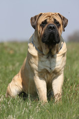 mastiff assis de face