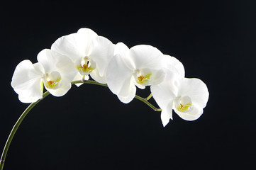 Bouquet orchid (phalaenopsis)over black