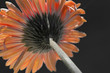 Orange Gerber daisy with partial monochrome
