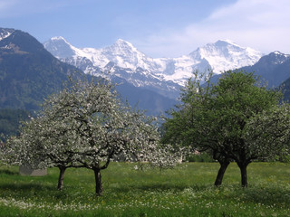 blossoming trees in front of snow capped mountains
