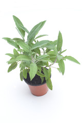 Sage Potted Plant