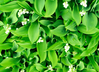 Field of vibrant green lilies