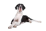 front view of a great dane dog  lying on the floor poster