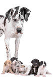 great dane dog looking at  the cute puppies poster