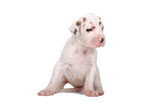 great dane puppy looking at one side poster