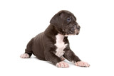 great dane puppy isolated on a white background poster