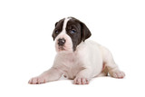 resting great dane puppy poster