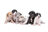 group of six great dane puppies isolated on white poster