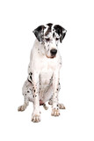 sitting great dane dog isolated on a white background poster