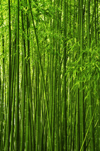 Bamboo forest texture