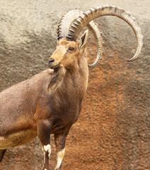 Portrait of Wild Goat