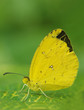 Mauritius butterfly