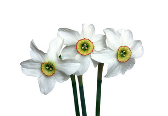 Three white narcissus