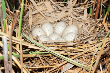 Coot ( Fulica atra ) nest with eggs