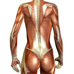 Muskelaufbau weiblicher Rücken