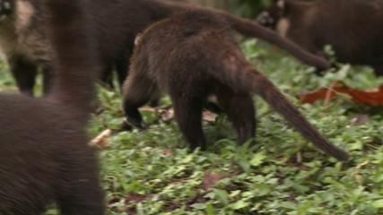 Koati costa rica