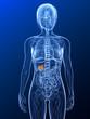 transparenter Körper mit markierter Gallenblase
