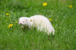 Ferret in summer