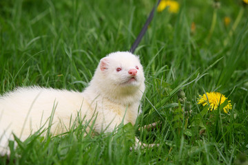 Ferret in summer