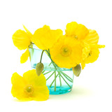 welsh poppy (meconopsis cambrica) in shallow blue glass; isolate poster