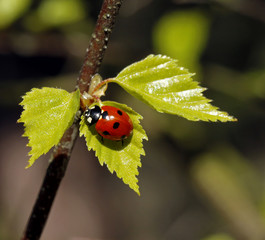 Ladybird on the green leaf