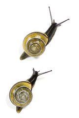 White-lipped  snails on the white background