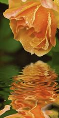 Rosa sobre el agua