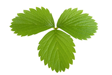 Leaf of strawberry with hand made clipping path