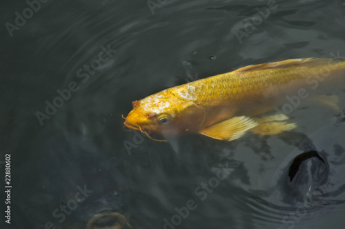 Golden Fish 04
