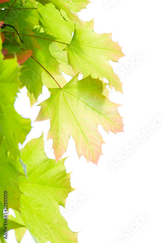 Young leaves of maple