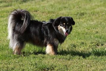 Hund - Canis lupus familiaris