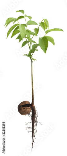Young Walnut sapling grown from nut isolated on white