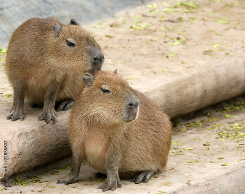 The European beaver or Eurasian beaver (Castor fiber)