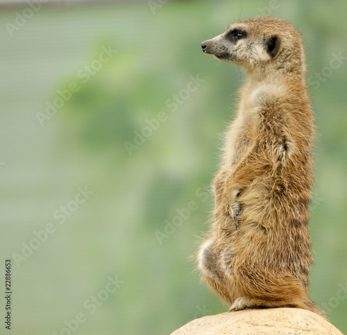 The meerkat or suricate (Suricata, suricatta)