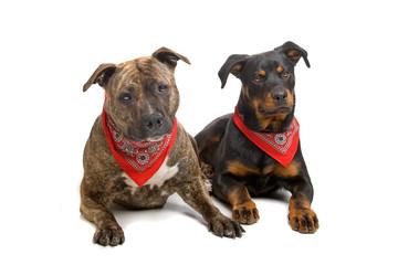 american stafford and a rottweiler puppy dog