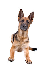 front view of a german shepherd dog
