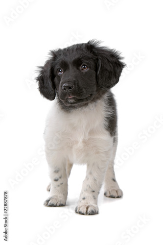 front view of a cute beautiful stabyhoun puppy