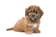 cute boomer puppy isolated on a white background